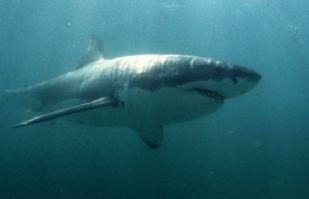 Horror en playa de Australia, joven de 15 años muere en brutal ataque de un tiburón