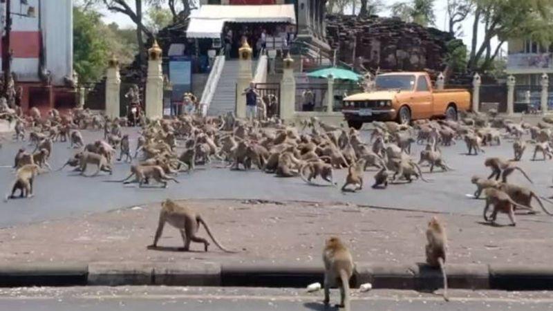 ¡Insólito! Miles de monos toman el control de una ciudad en Tailandia