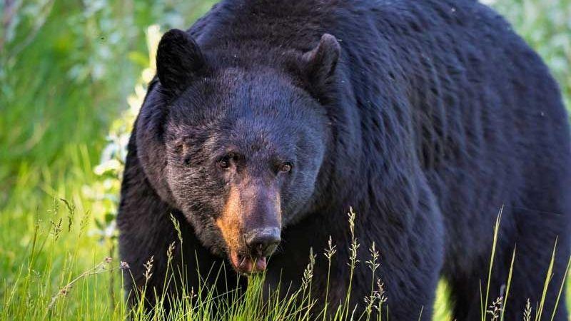 Canadá: Mujer muere tras el feroz ataque de un oso negro frente a su hijo de 9 años