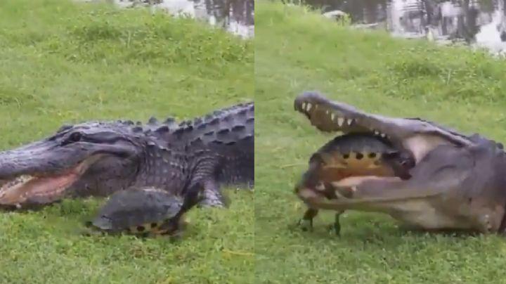 VIDEO: Tras varios intentos, caimán fracasó al comerse una tortuga y se hace viral