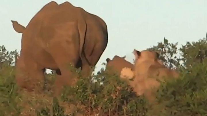 VIDEO: Mamá rinoceronte protege a su cría de la emboscada de un león en Sudáfrica