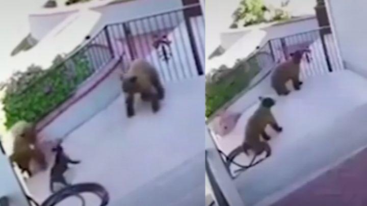 Bulldog francés se enfrenta a dos osos que invaden su vivienda y logra salir ileso