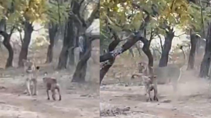 VIDEO: Perro callejero se enfrenta en feroz pelea a leona y la ahuyenta