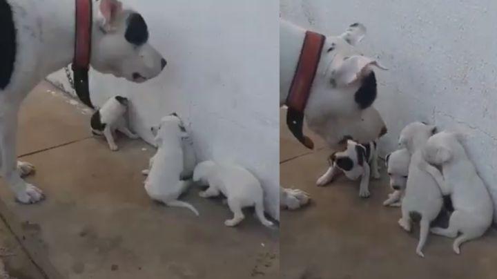 Qué ternura: Cachorros cautivan Facebook por su triste reacción al ser regañados por su padre