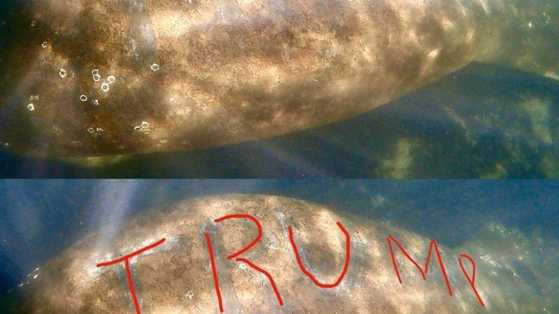 """Autoridades de EU buscan a los responsables de tallar """"Trump"""" en la espalda de un manatí"""
