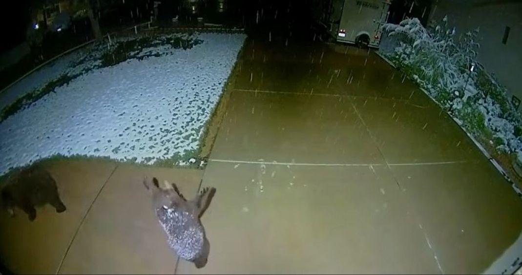Tierna reacción de un oso al ver nieve caer