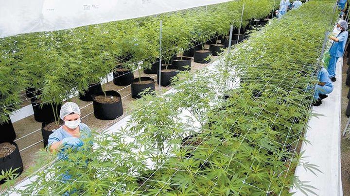 """""""Las empresas están listas"""": Proveedoras de cannabis se preparan para trámites de permisos"""