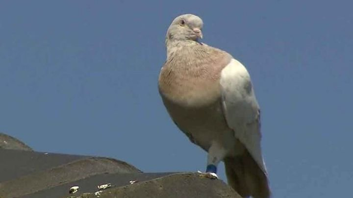 """Joe: La paloma estadounidense que Australia busca ejecutar por miedo a la """"salud"""" de su país"""