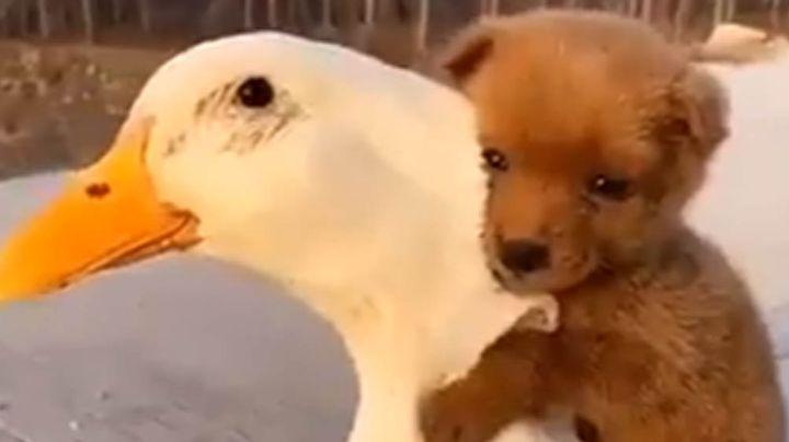 Adorable cachorrito conmueve a todos en Internet por su linda amistad con un ganso