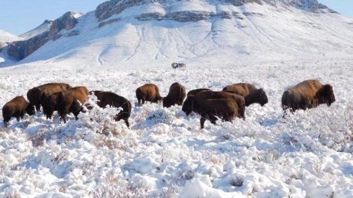 Caza deportiva del bisonte americano es aprobada por la Semarnat