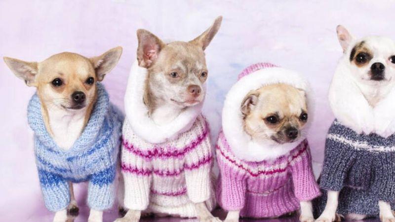 Expertos en animales revelan si a los perros les gusta utilizar ropa o no