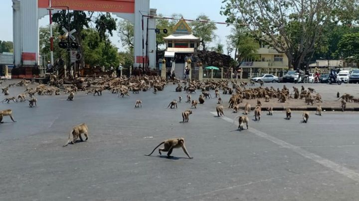 VIDEO: Monos corren en estampida por ciudad de Tailandia al oír explosión de fuegos artificiales
