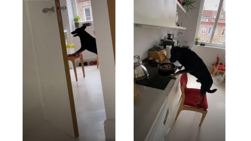 ¡Qué listo! Perrito empuja una silla hasta la cocina y logra alcanzar la comida: VIDEO