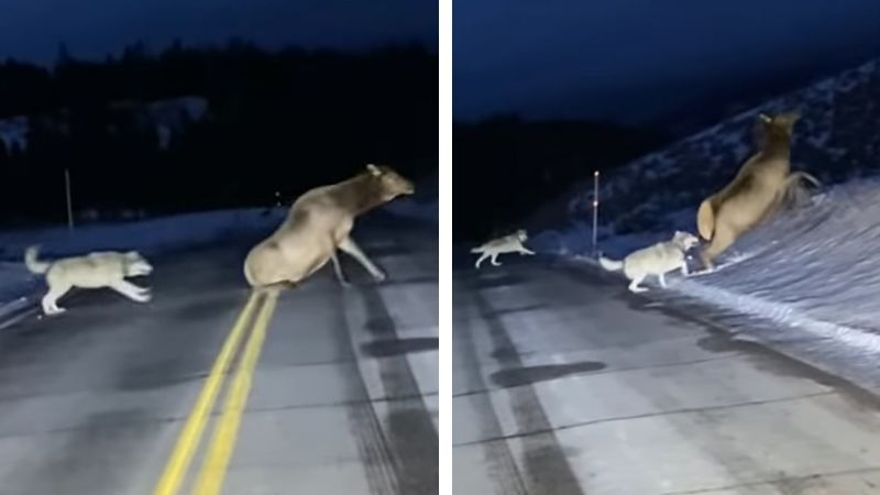 El increíble momento en que manada de lobos caza a alce en medio de carretera