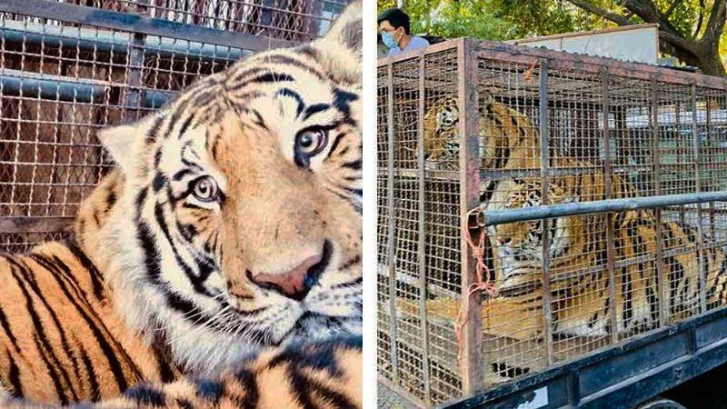 Dos tigres de bengala y una leona africana son asegurados en rancho de Navojoa