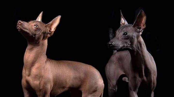 Xoloitzcuintle: Una leyenda ancestral que sobre el perro tradicional de México