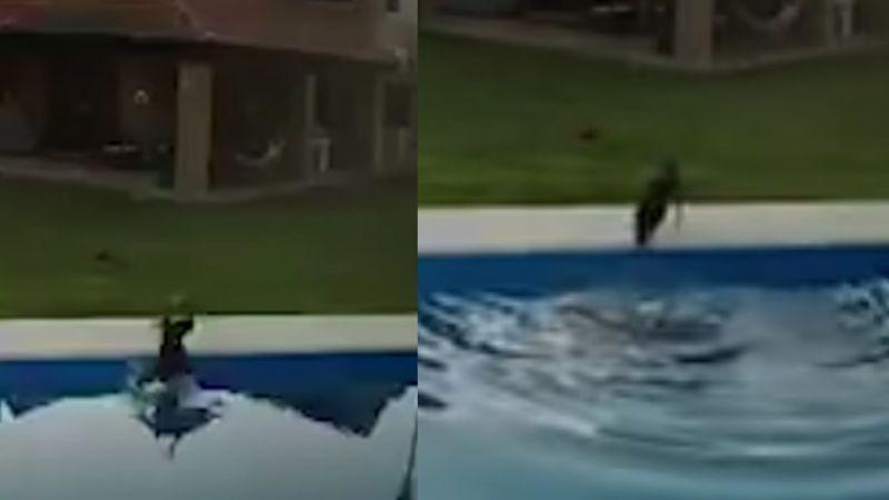 Acto heroico: Perra salva a pitbull ciega de morir ahogada en la piscina