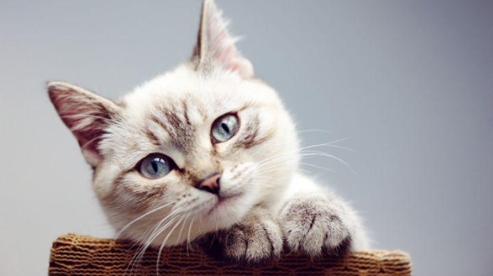 ¡No lo podrás creer! Estas razas de gatos son perfectas para personas con alergias