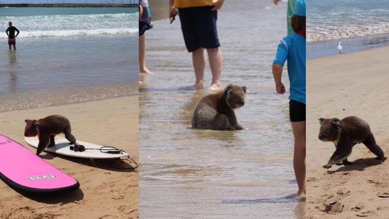 Koala roba suspiros enternecidos de turistas al pasear por una playa australiana