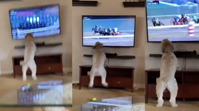 VIDEO: Perrita se vuelve viral ante su reacción a las carreras de caballos