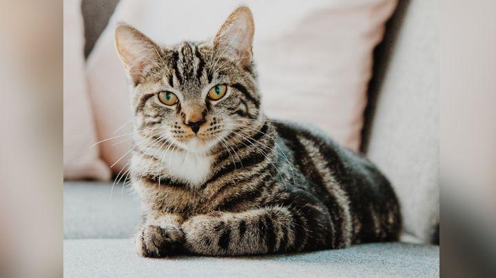 Pon atención a estos síntomas y ten cuidado, podrías detectar la diabetes en tu gato