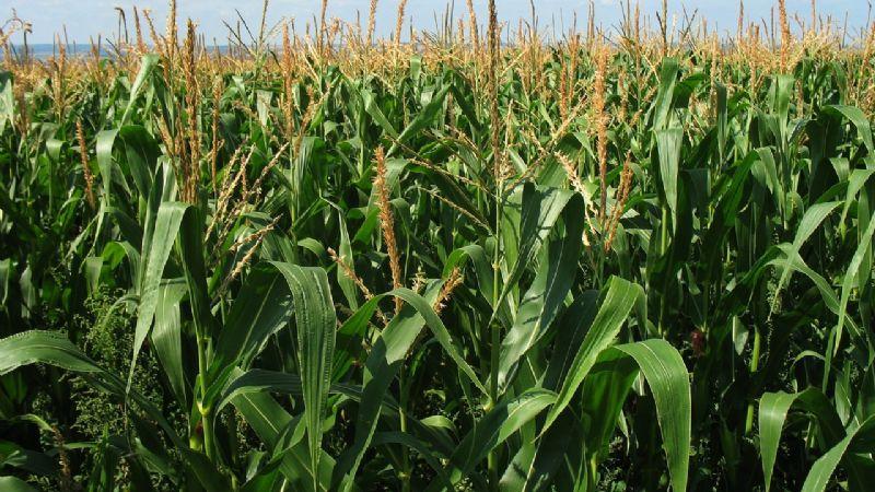 Productores reciben un duro golpe, retiran precios de garantía del maíz
