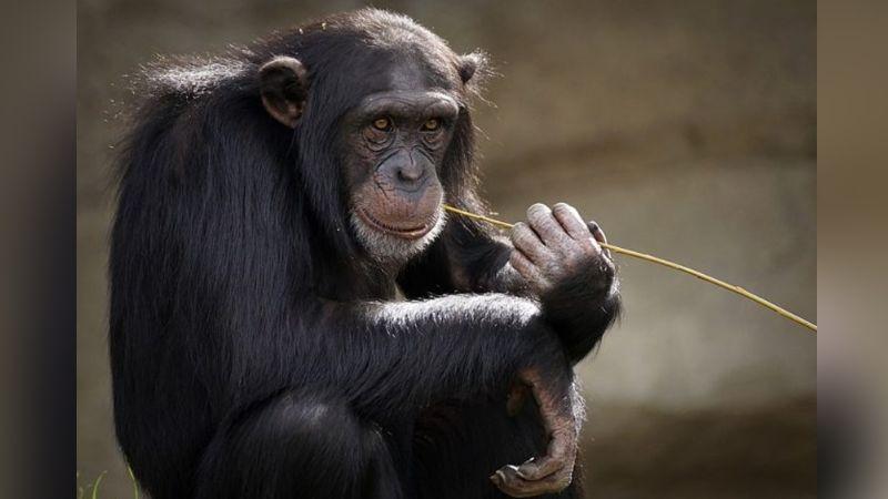 VIDEO: Chimpancé enternece por su reacción al verse por primera vez en el espejo
