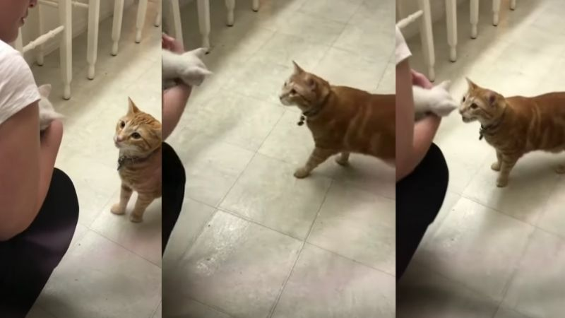 Gato causa 'explosión' de ternura al ver por primera vez a un pequeño cachorro