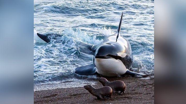 "VIDEO: Foca logra escapar de orcas ""asesinas"" con impresionante maniobra evasiva"