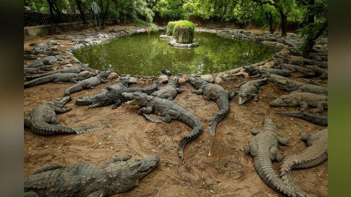 Hombre queda atrapado en árbol rodeado de cocodrilos y pescadores lo rescatan