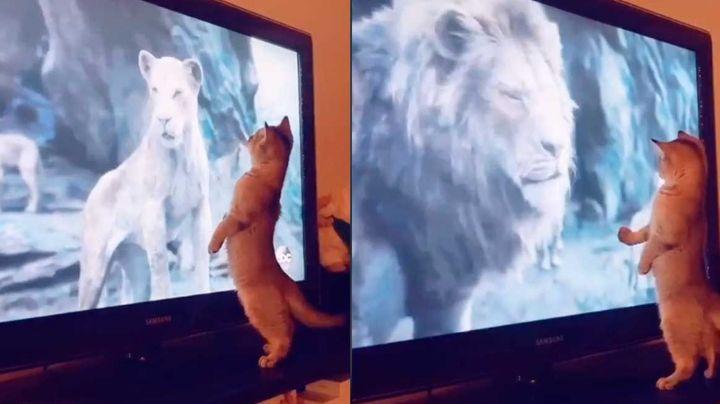 Gatito hace reír a todo Internet ante su curiosa reacción al ver 'El Rey León'