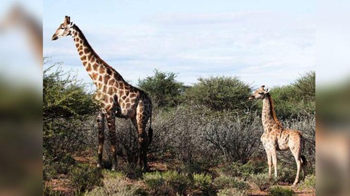 Investigadores descubren jirafas enanas en África; miden solo dos metros