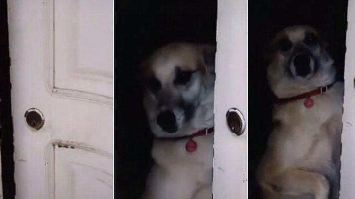 Perrito recibe regaño por abrir la puerta sin saber quién es y el video se hace viral
