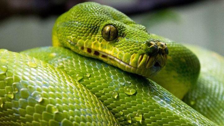 Anciana sorprende a todos en Internet al mostrar cómo logró someter a enorme serpiente
