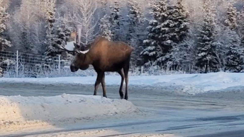 VIDEO: Majestuoso alce sorprende a automovilista en carretera de Alaska