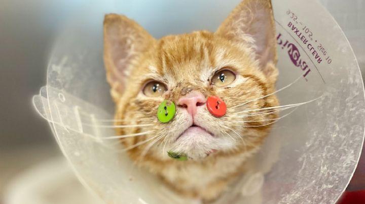 Masacrado y herido: Médicos reconstruyen la mandíbula de un gato con botones de costura