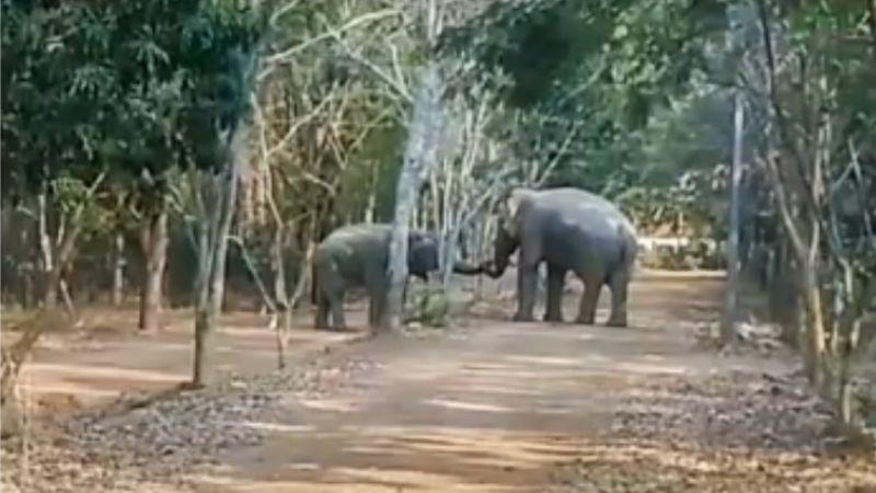 VIDEO: ¡Insólito! Dos elefantes hacen las paces tras semanas de pelear por una hembra
