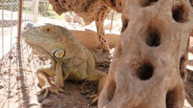 'Bartolo' se une a sus primas iguanas en el Centro Cultural de Cócorit Yo'o Joara