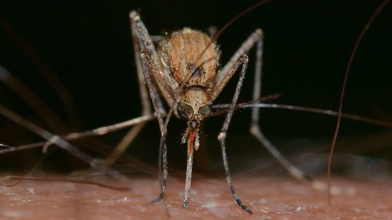 ¿El piquete de mosquito transmitiría Covid-19? Esta es la inesperada respuesta de la OMS