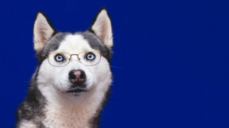¡Te sorprenderán! Descubre algunas curiosidades del sorprendente Husky Siberiano