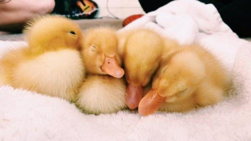 ¿Quieres un pato de mascota? Estas son algunas cosas que debes tomar en cuenta