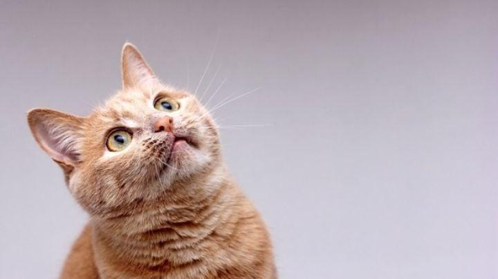 Así es la forma en la puedes combatir los piojos en tu amado gato
