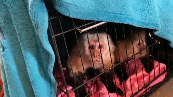 Mueren 12 primates en el Santuario de Texas a causa de tormenta invernal y apagones
