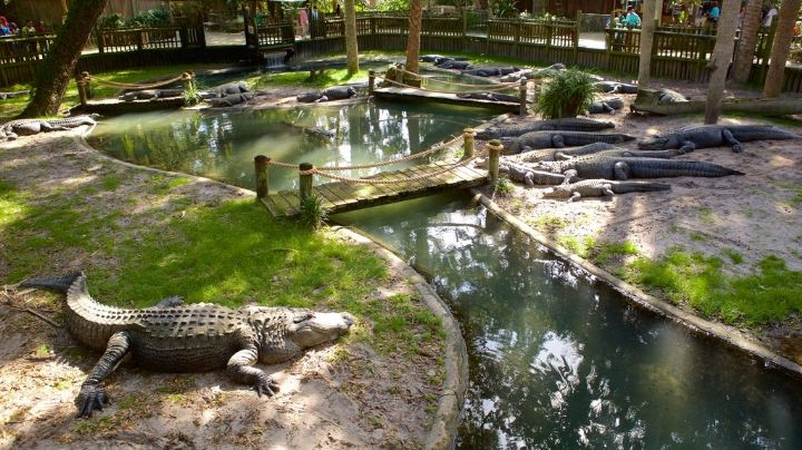 Descuido de zoológico casi le cuesta la vida a un cocodrilo; fue operado por comer algo inusual