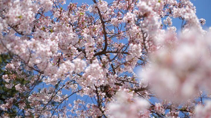 ¿Amas la jardinería? Conoce algunas de las flores más famosas en Japón