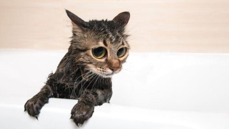 ¡No más rasguños! Así puedes bañar a tu gato sin sufrir rasguños en el intento