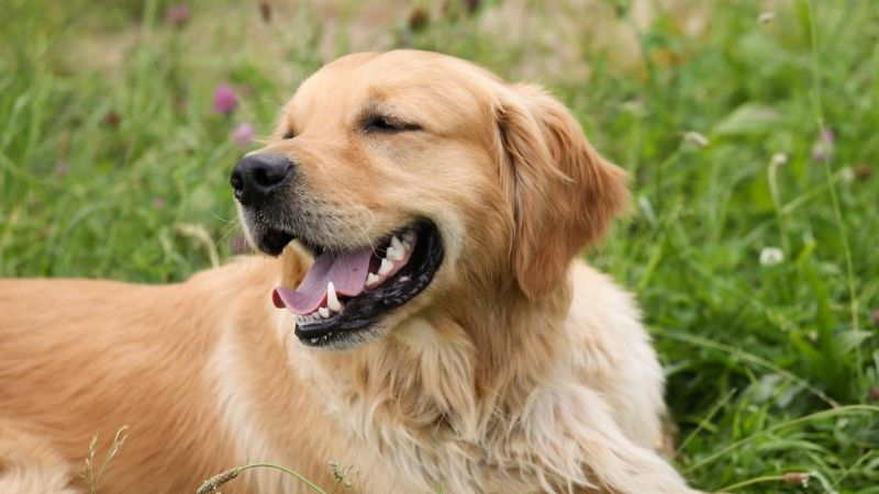 Muy parecidos a Einstein: Estas son las 5 razas de perros más inteligentes