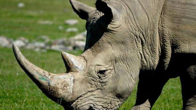 VIDEO: ¡Aterrador momento! Joven logra calmar a rinoceronte salvaje con esta técnica