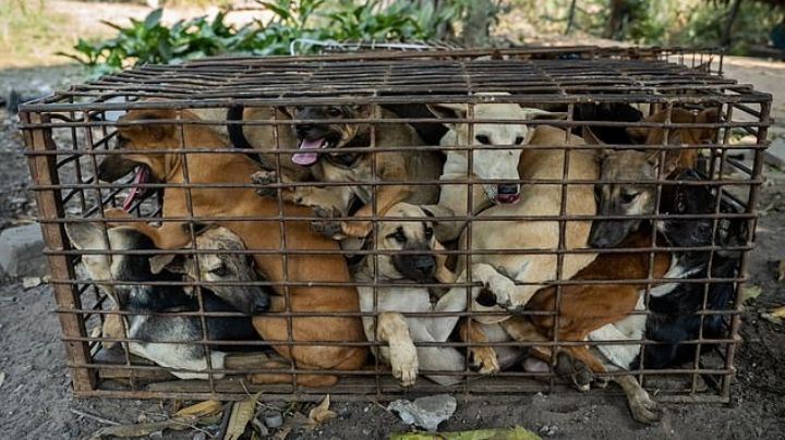 ¡Se los iban a comer! Rescatan a 61 perros que iban al matadero; los tenían en una jaula