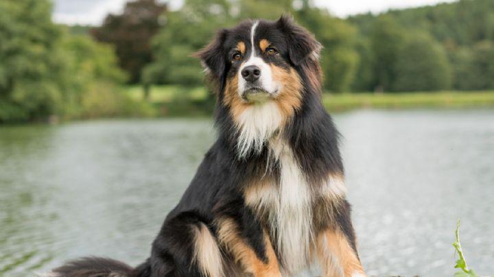 ¡El perro maravilla! Conoce algunas sorprendentes curiosidades del pastor australiano